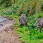 Viharin.com- Two Neelgiri Tahrs grazing