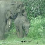 Viharin.com- Baby elephant eating grass