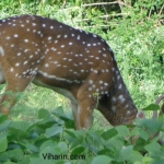 Viharin.com- Deer grazing the jungle