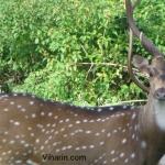 Viharin.com- Deer looking again