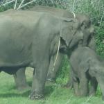 Viharin.com- Family of captive elephants