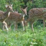 Viharin.com- Herd of deers