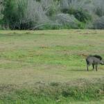 Viharin.com- wild boar at Madumalai National Park