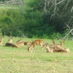 viharin.com- Spotted deers at Madumalai National Park