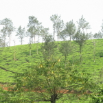 Rolling tea gardens of Wayanad, Kerala a wellness retreat