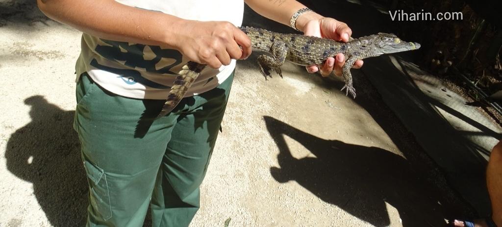 Viharin.com- Baby Crocodile