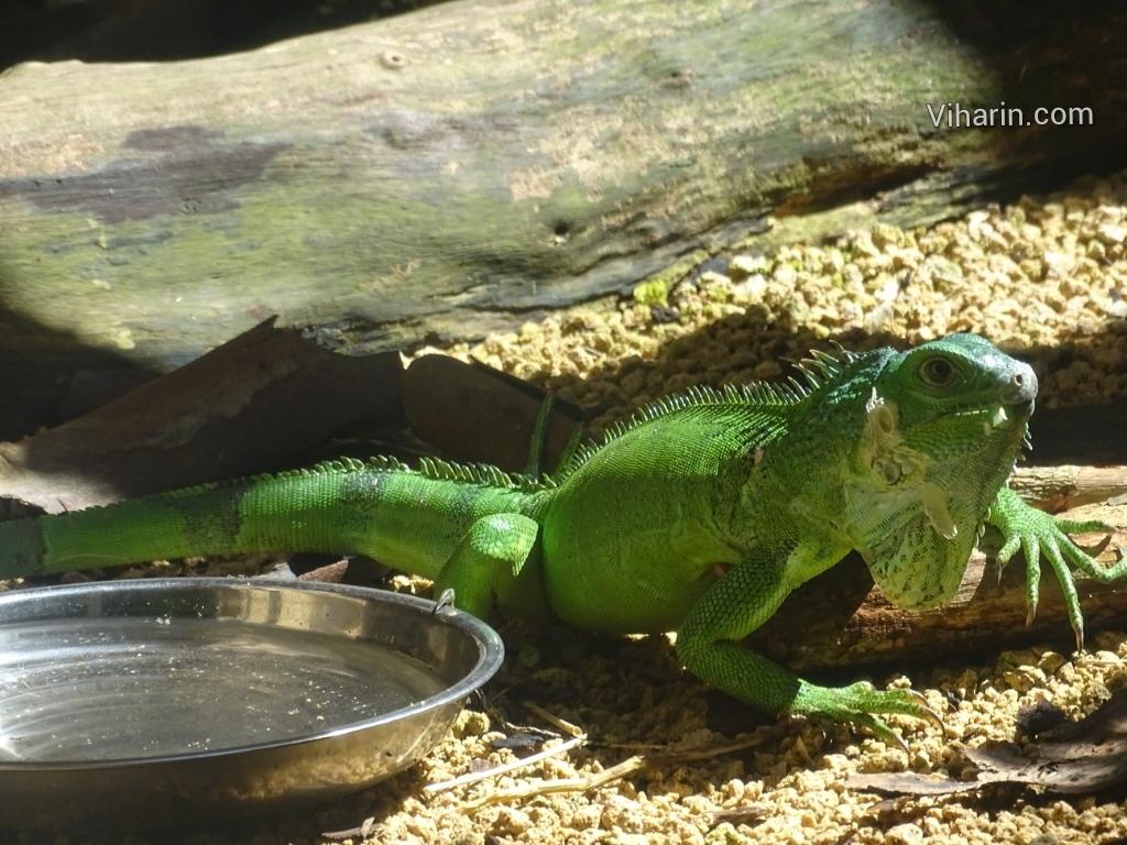 Viharin.com- Chameleon