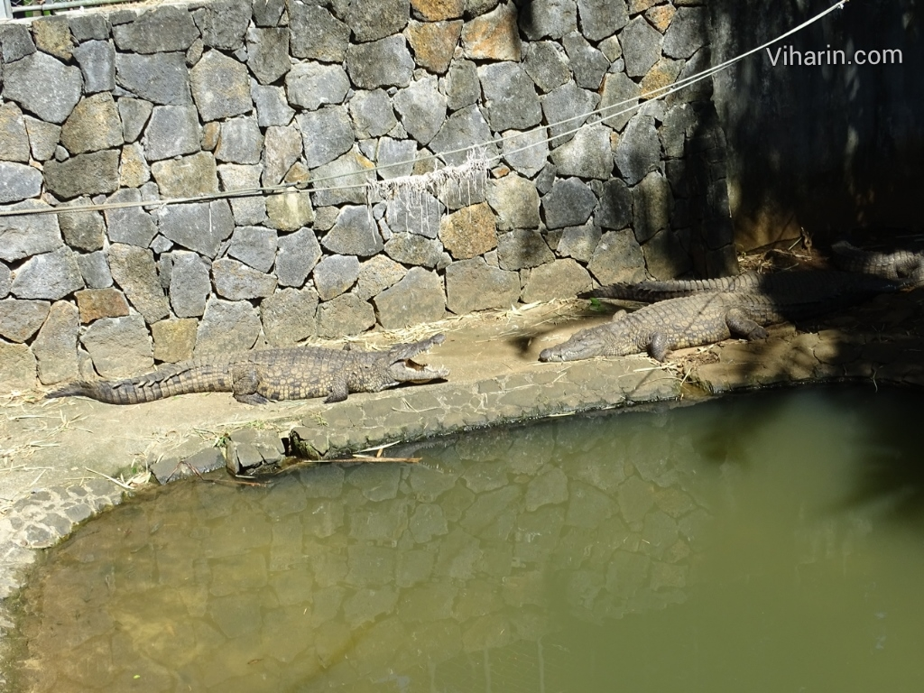 Viharin.com- Crocodiles bathing in sun