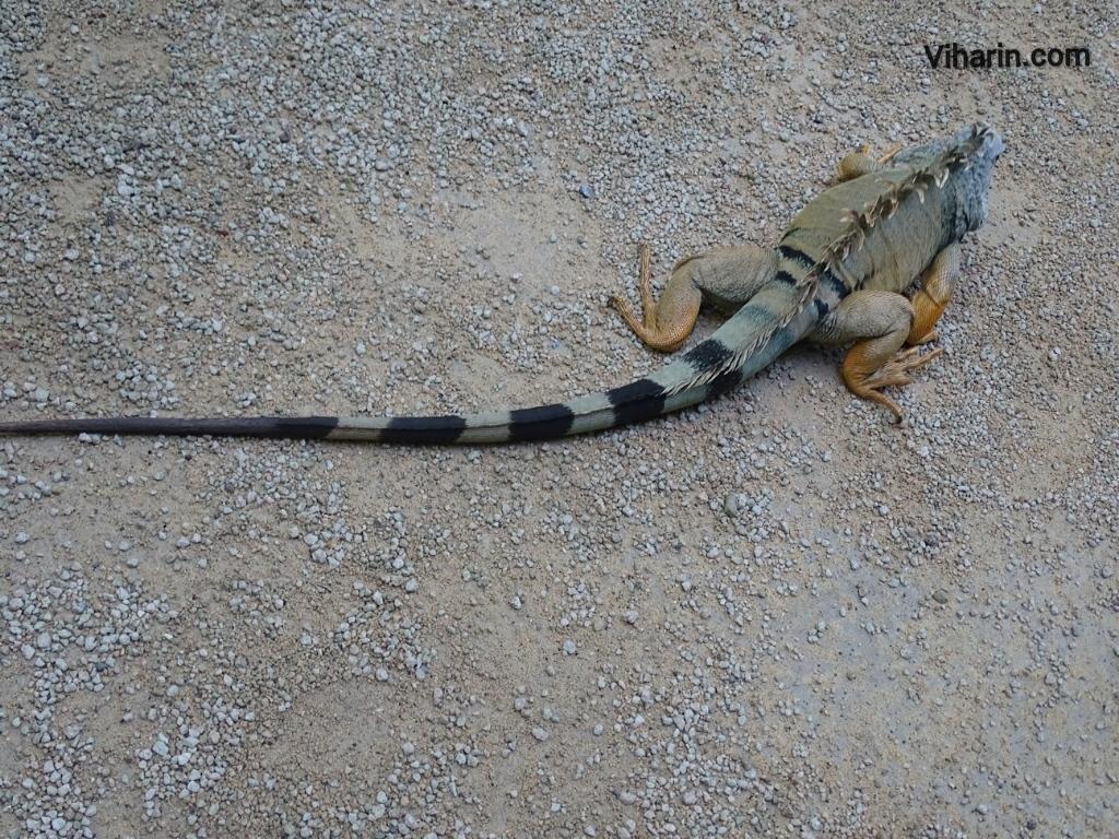 Viharin.com- Green Iguana