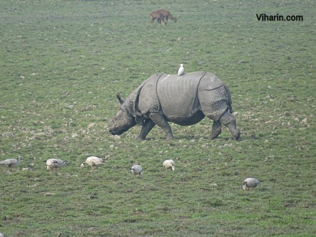 Viharin.com- Rhino enjoying symbiotic relation with birds