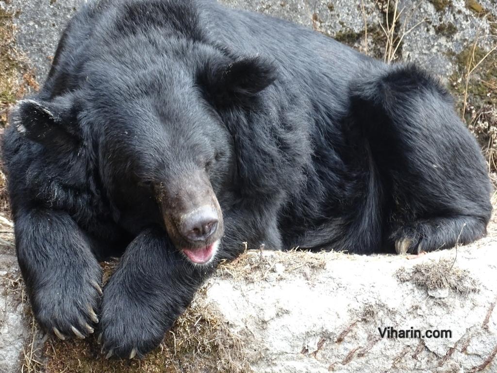Viharin.com- Bear