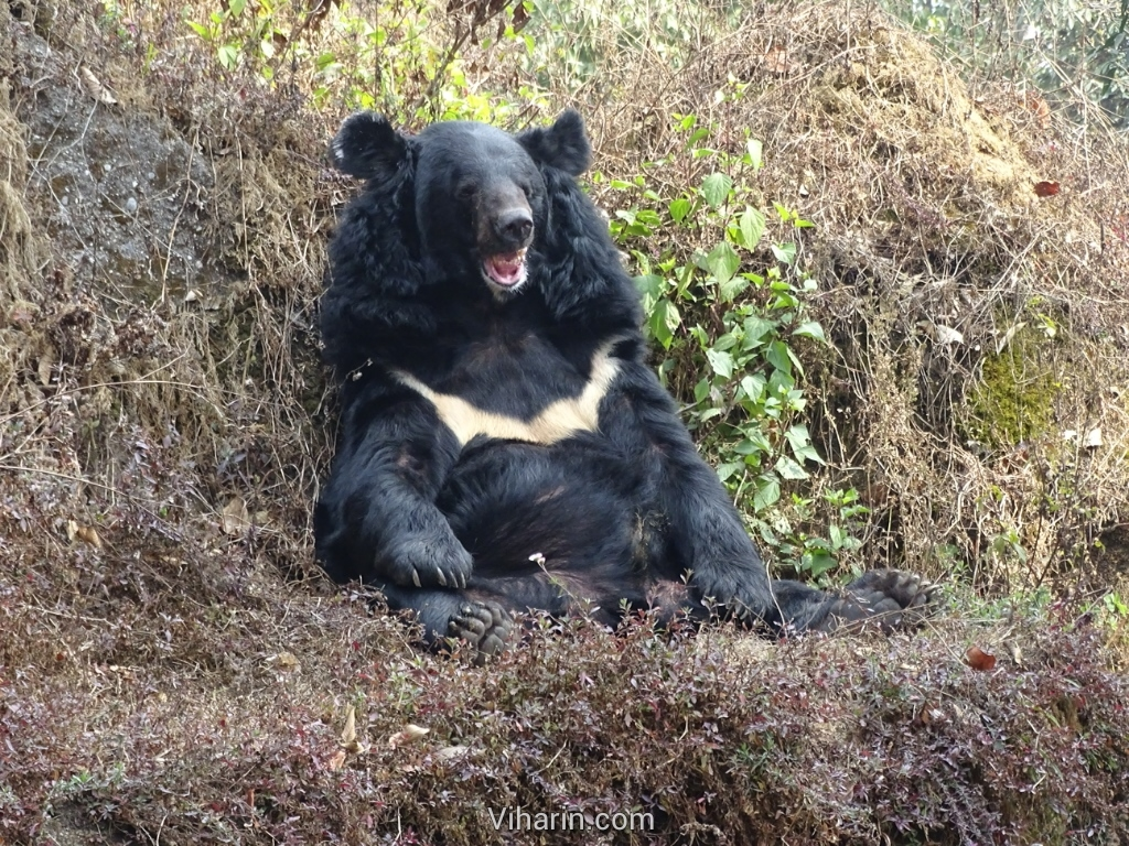 Viharin.com- Bear with a thick white line on chest