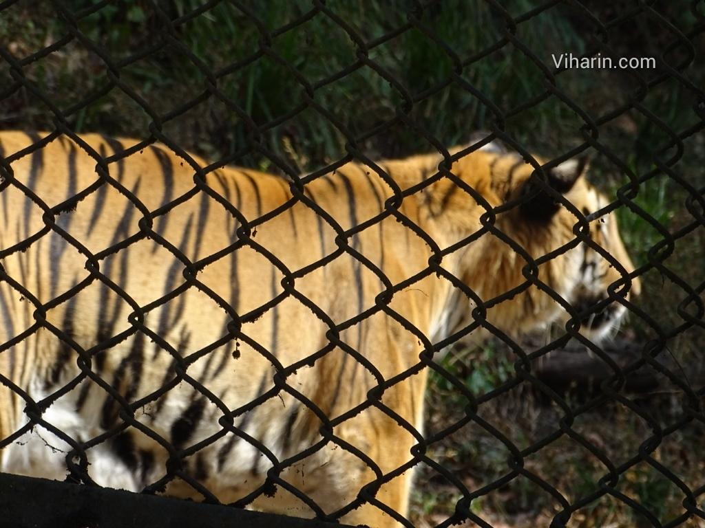 Viharin.com- Tiger