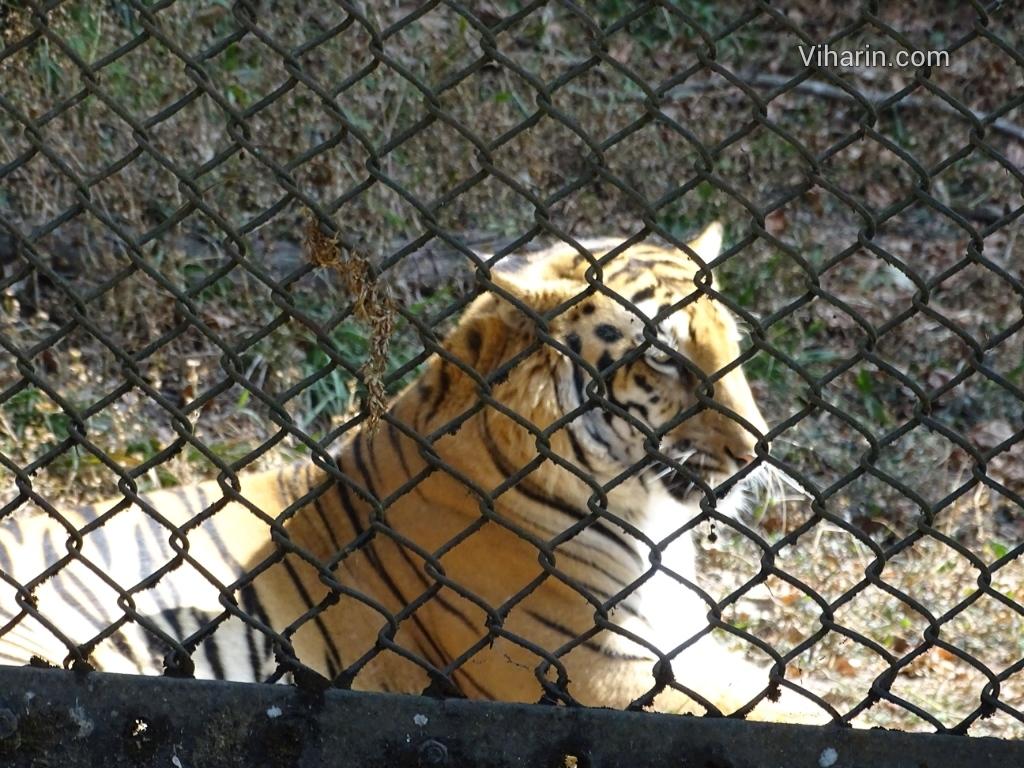 Viharin.com- Tiger's majestic pose