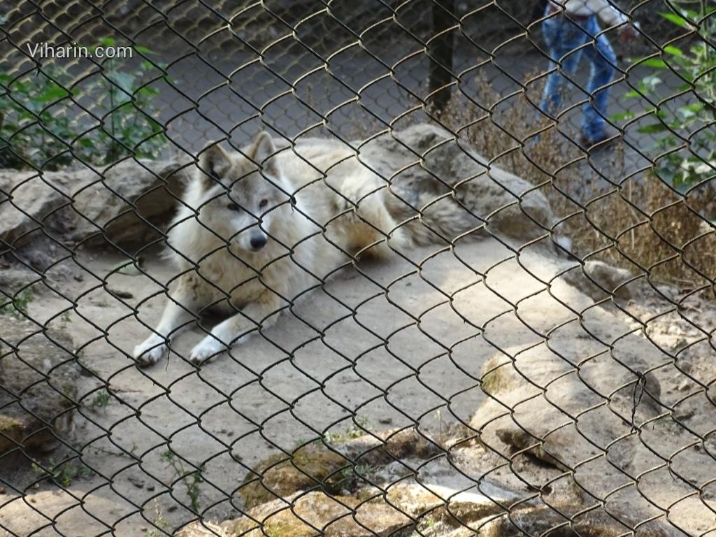 Viharin.com- Wolf
