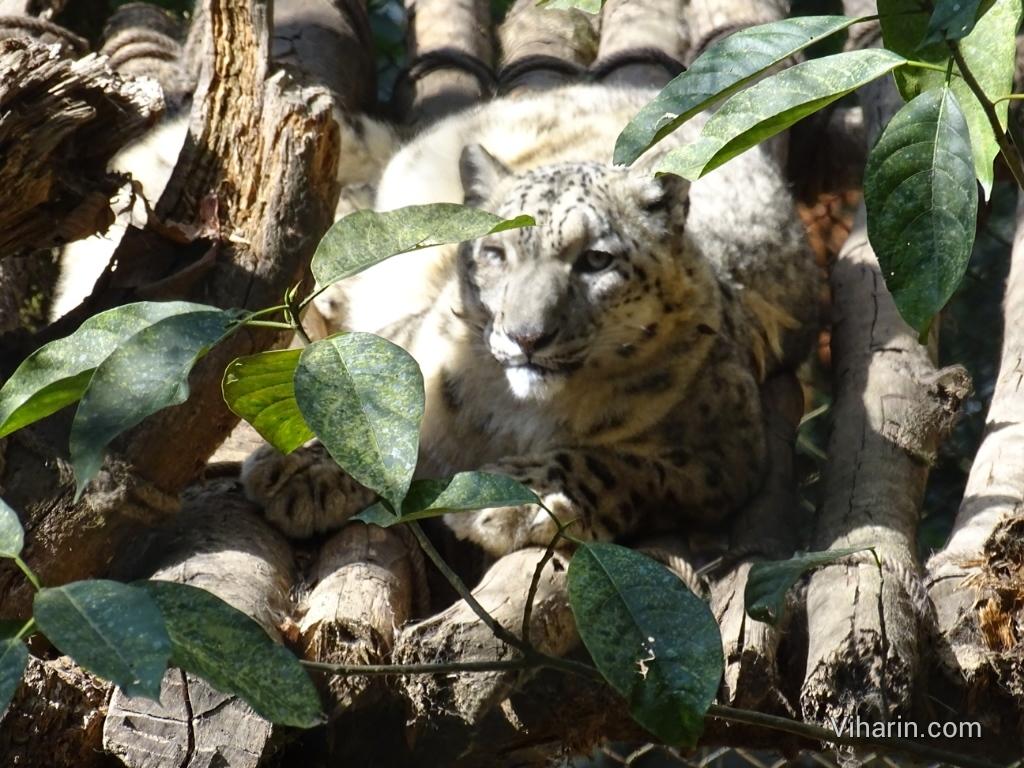 Viharin.com- close up of Snow Leopard