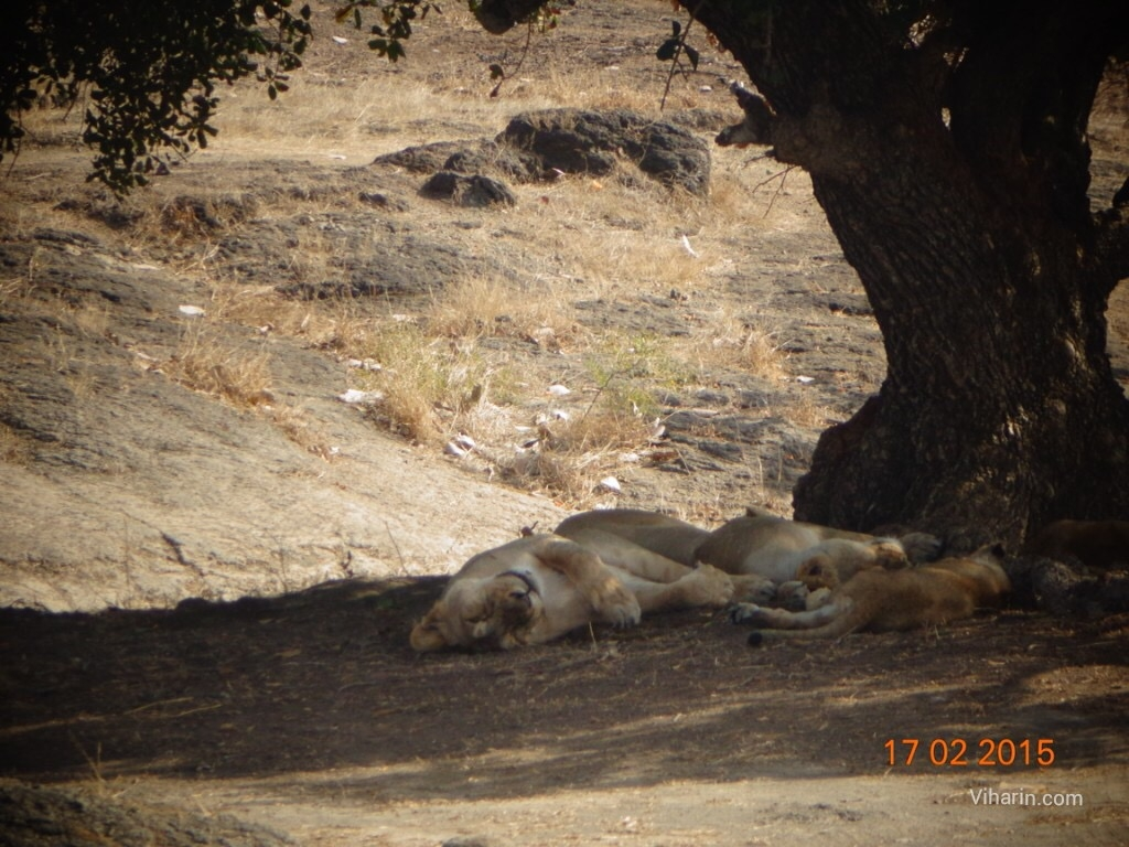 Gir forest/ one of the National Parks of India