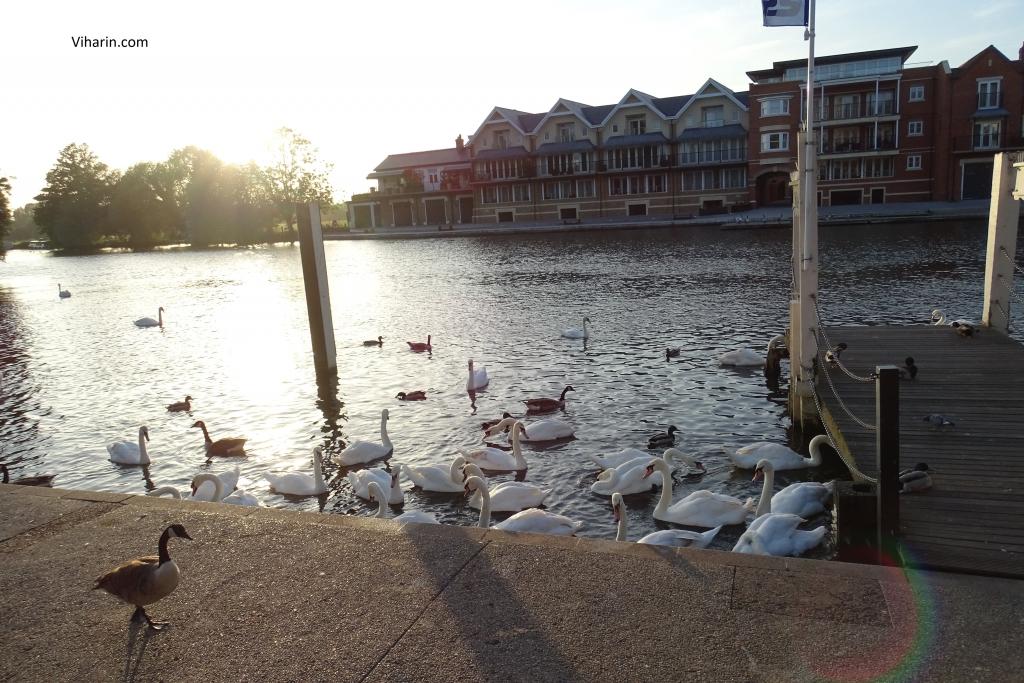 Ducks in River Thames