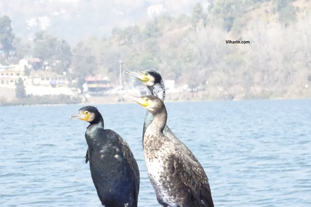 Siberian Cranes enjoying in Bhimtal