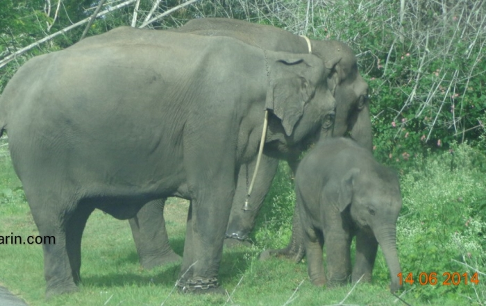 Viharin.com- Family of captive elephants